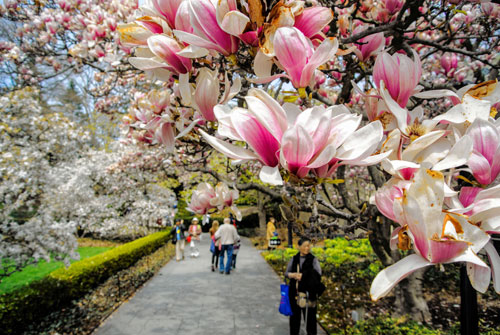 Photo Courtesy of Sakura Matsuri